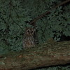 This young barred owl kept calling at midnight, so we took his picture!<br /> <br /> Photographer's Name: KendraDaniel&Jonathan Schlabach<br /> Photographer's City and State: Anderson, IN
