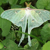 A luna moth today at Mounds Park near the Woodland Shelter.<br /> <br /> Photographer's Name: Pete Domery<br /> Photographer's City and State: Markleville, Ind.