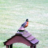 First robin of summer, taken in Richland Township.<br /> <br /> Photographer's Name: J.R. Rosencrans<br /> Photographer's City and State: Alexandria, Ind.