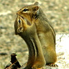 Mother chipmunk feeding her little one , so precious.<br /> <br /> Photographer's Name: Rita Drews<br /> Photographer's City and State: Anderson, Ind.