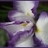 Japanese Iris in my garden.<br /> <br /> Photographer's Name: Laura Johnson<br /> Photographer's City and State: Alexandria, Ind.