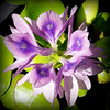 A water hyacinth blooming in our garden.<br /> <br /> Photographer's Name: Debra Howell<br /> Photographer's City and State: Pendleton, Ind.
