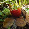 """""""June Strawberrys:"""" My wife's garden in Richland Township.<br /> <br /> Photographer's Name: J.R. Rosencrans<br /> Photographer's City and State: Alexandria, Ind."""