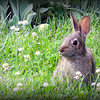 Found this rabbit in our back yard.<br /> <br /> Photographer's Name: Debra Howell<br /> Photographer's City and State: Pendleton, Ind.