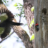 After feeding one of the young babies, an adult Pileated Woodpecker at Mounds State Park flew away to bring more food.<br /> <br /> Photographer's Name: Jerry Byard<br /> Photographer's City and State: Anderson, Ind.