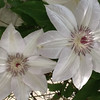White clematis.<br /> <br /> Photographer's Name: Donna Davis<br /> Photographer's City and State: Anderson, Ind.