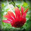 A hot papaya coneflower, planted before the storm, waiting on Mother Nature to provide the water.<br /> <br /> Photographer's Name: Debra Howell<br /> Photographer's City and State: Pendleton, Ind.