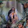 A robin family in my neighbor's wreath.<br /> <br /> Photographer's Name: Jerry Carignan<br /> Photographer's City and State: Anderson, Ind.