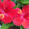 Hibiscus blooms in our back yard.<br /> <br /> Photographer's Name: Debra Howell<br /> Photographer's City and State: Pendleton, Ind.