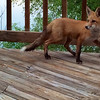 This little guy was on our upstairs back deck one morning this week. Imagine our surprise!<br /> <br /> Photographer's Name: Kathy Wehrley<br /> Photographer's City and State: Anderson, Ind.