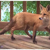 A morning visitor.<br /> <br /> Photographer's Name: Kathy Wehrley<br /> Photographer's City and State: Anderson, Ind.