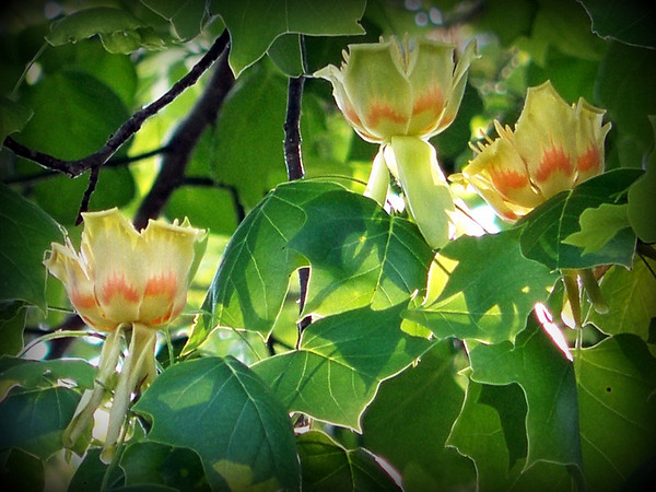 Tulip poplar (Indiana's state tree) blooming at our Pendleton home.<br /> <br /> Photographer's Name: Debra Howell<br /> Photographer's City and State: Pendleton, Ind.