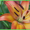 Asian lily in my garden.<br /> <br /> Photographer's Name: Laura Johnson<br /> Photographer's City and State: Alexandria, Ind.