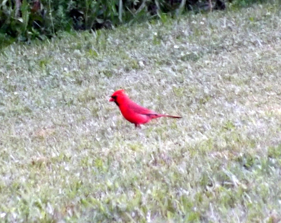 An Indiana redbird, taken at my farm in Richland Township.<br /> <br /> Photographer's Name: J.R. Rosencrans<br /> Photographer's City and State: Alexandria, Ind.