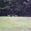 Sharing my soybeans with three deer, at my farm in Jinnings County.<br /> <br /> Photographer's Name: J.R. Rosencrans<br /> Photographer's City and State: Alexandria, Ind.
