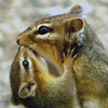 Mother chipmonk feeding her baby, not seen very often.<br /> <br /> Photographer's Name: Rita Drews<br /> Photographer's City and State: Anderson, Ind.