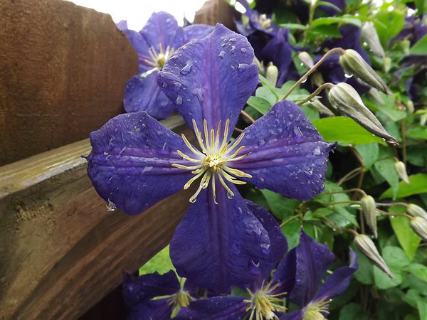 June showers bring Clemali's flowers.<br /> <br /> Photographer's Name: J.R. Rosencrans<br /> Photographer's City and State: Alexandria, Ind.