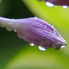 Raindrops on a hosta flower become 'lens like' after a recent downfall.<br /> <br /> Photographer's Name: Jerry Byard<br /> Photographer's City and State: Anderson, Ind.