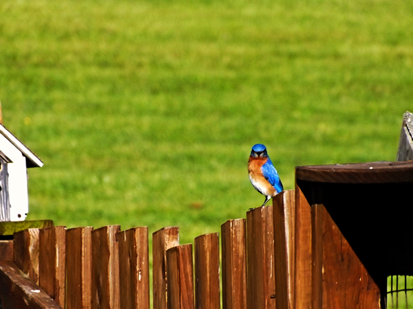 Bluebird sunning.<br /> <br /> Photographer's Name: J.R. Rosencrans<br /> Photographer's City and State: Alexandria, Ind.