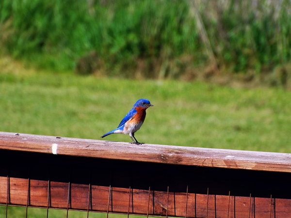 """""""Madison County Bluebirds.""""<br /> <br /> Photographer's Name: J.R. Rosencrans<br /> Photographer's City and State: Alexandria, Ind."""