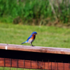 """Madison County Bluebirds.""<br /> <br /> Photographer's Name: J.R. Rosencrans<br /> Photographer's City and State: Alexandria, Ind."
