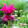 Bee balm in my garden<br /> <br /> Photographer's Name: Debra Howell<br /> Photographer's City and State: Pendleton, Ind.