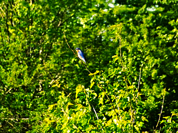 Bluebird branches in Richland Township.<br /> <br /> Photographer's Name: J.R. Rosencrans<br /> Photographer's City and State: Alexandria, Ind.