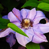 "A perfect clematis ""royalty bloom.""<br /> <br /> Photographer's Name: J.R. Rosencrans<br /> Photographer's City and State: Alexandria, Ind."