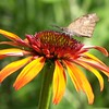 A butterfly on hot papaya coneflower in my garden.<br /> <br /> Photographer's Name: Debra Howell<br /> Photographer's City and State: Pendleton, Ind.