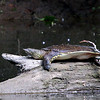 While hiking Mounds Park I noticed this very large soft shell turtle basking in the sun on a log in White River.<br /> <br /> Photographer's Name: Jerry Byard<br /> Photographer's City and State: Anderson, Ind.