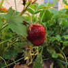 First strawberry of the season, taken at my farm in Richland Township.<br /> <br /> Photographer's Name: J.R. Rosencrans<br /> Photographer's City and State: Alexandria, Ind.