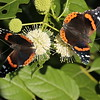 Two Red Admirals on a button bush at Mounds Park on June 24.<br /> <br /> Photographer's Name: Pete Domery<br /> Photographer's City and State: Markleville, Ind.