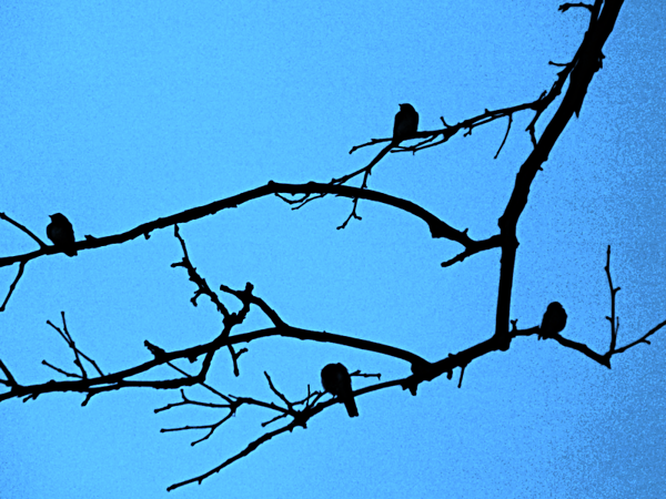 Birds of a feather flock together...my woods in Richland Township.<br /> <br /> Photographer's Name: J.R. Rosencrans<br /> Photographer's City and State: Alexandria, Ind.