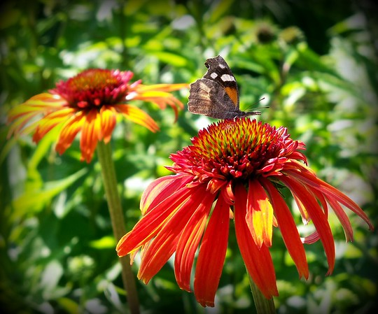 Butterfly on hot papaya cone flower in my garden.<br /> <br /> Photographer's Name: Debra Howell<br /> Photographer's City and State: Pendleton, Ind.
