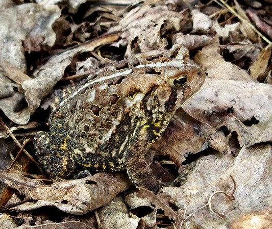 A toad camouflaged in my garden.<br /> <br /> Photographer's Name: Debra Howell<br /> Photographer's City and State: Pendleton, Ind.