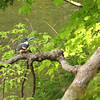 This belted kingfisher at Mounds State Park lives in the bank along the river.<br /> <br /> Photographer's Name: Jerry Byard<br /> Photographer's City and State: Anderson, Ind.