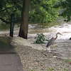 A heron standing beside a flooded path at Shadyside Park Saturday, June 20, 2015.<br /> <br /> Photographer's Name: Zola Noble<br /> Photographer's City and State: Anderson, Ind.