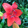 Beautiful red lily near Perkinsville, Ind.<br /> <br /> Photographer's Name: Janet Neese-Hoffman<br /> Photographer's City and State: Frankton, Ind.