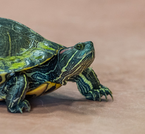 Found this turtle on 8th Street and let it go in the woods.<br /> <br /> Photographer's Name: Terry Lynn Ayers<br /> Photographer's City and State: Anderson, Ind.