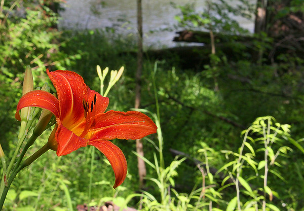 A day lily along White River at Mounds Park.<br /> <br /> Photographer's Name: Jerry Byard<br /> Photographer's City and State: Anderson, Ind.