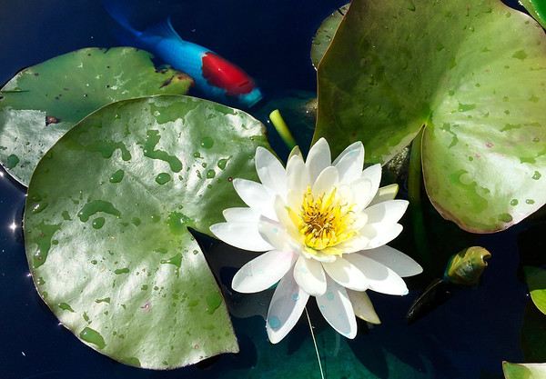 My lilies in my small pond are opening and my fish are checking it out near Perkinsville, Ind.<br /> <br /> Photographer's Name: Janet Neese-Hoffman<br /> Photographer's City and State: Frankton, Ind.