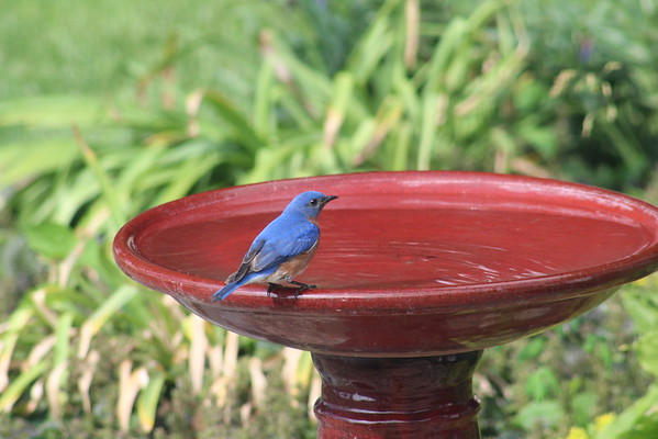 Papa bluebird needs a drink after feeding four babies all morning!<br /> <br /> Photographer's Name: Mick Hardy<br /> Photographer's City and State: Summitville, Ind.