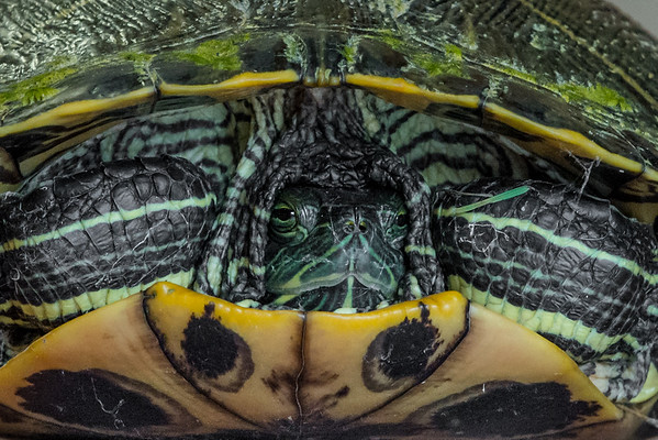 We found this turtle on 8th Street.<br /> <br /> Photographer's Name: Terry Lynn Ayers<br /> Photographer's City and State: Anderson, Ind.