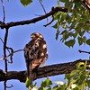 """""""Hawk Eye:"""" My woods in Richland Township.<br /> <br /> Photographer's Name: J.R. Rosencrans<br /> Photographer's City and State: Alexandria, Ind."""