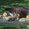 Geese can be obnoxious, but the baby parade up White River at Mounds Park was cute.<br /> <br /> Photographer's Name: Jerry Byard<br /> Photographer's City and State: Anderson, Ind.