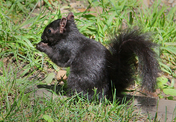 One of the few black squirrels at Mounds Park finding seeds.<br /> <br /> Photographer's Name: Jerry Byard<br /> Photographer's City and State: Anderson, Ind.