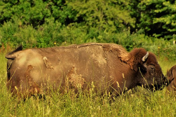 """""""The real Buffalo of Madison County."""" Taken in Richland Township.<br /> <br /> Photographer's Name: J.R. Rosencrans<br /> Photographer's City and State: Alexandria, Ind."""