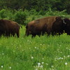 Bison buddies in Richland Township.<br /> <br /> Photographer's Name: J.R. Rosencrans<br /> Photographer's City and State: Alexandria, Ind.