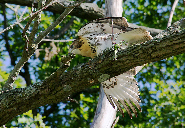 A red-tailed hawk at Mounds Park was snacking on some captured prey.<br /> <br /> Photographer's Name: Jerry Byard<br /> Photographer's City and State: Anderson, Ind.