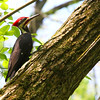 It's always neat to see a pileated woodpecker at Mounds Park.<br /> <br /> Photographer's Name: Jerry Byard<br /> Photographer's City and State: Anderson, Ind.